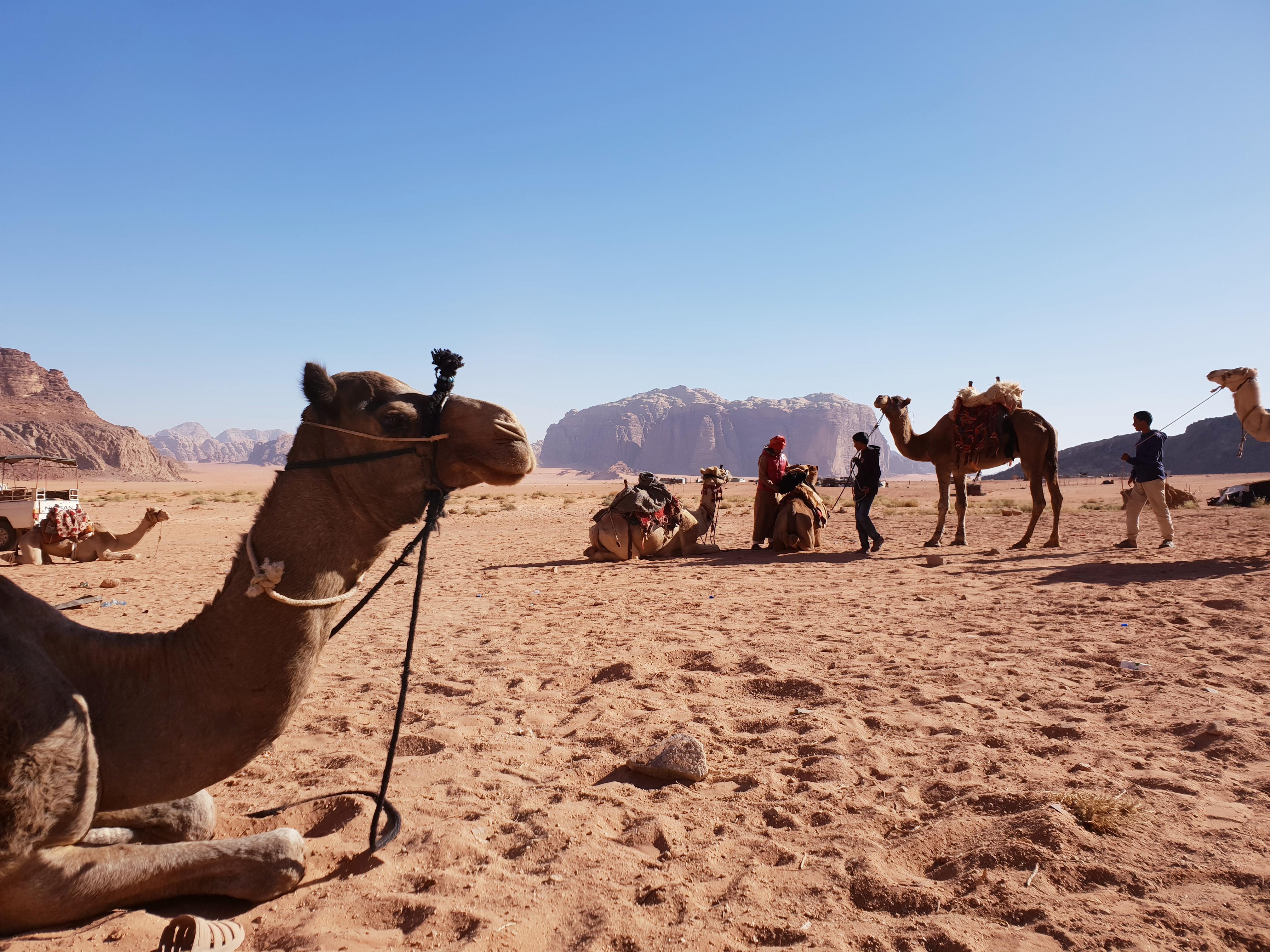 Camels, Jordan